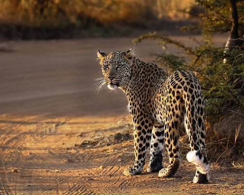 Leopard found in the Pilanesberg day tour.