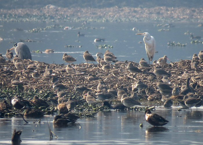 Godwits and ruff over for the winter