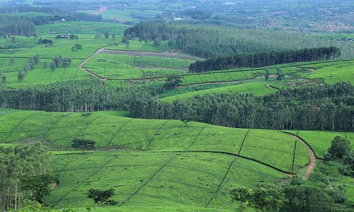 Tea Estates of Shire Highlands