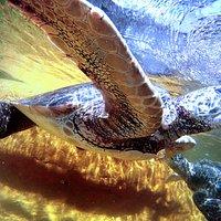 Endangered Eastern Pacific Green Sea Turtles