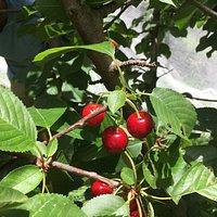 Beautiful red cherries