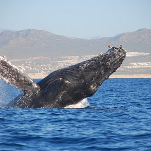 With seven species visiting every year, whale watching at Los Cabos is an unforgettable experien