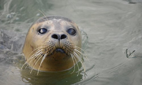 Common Seal in resident pool