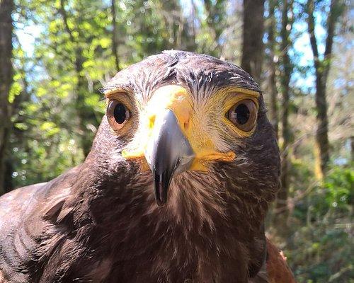 Make Harris hawk here at North East Falconry