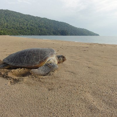 A green turtle returns to the sea at the main beach at Tanjung Datu National Park, Sarawak.