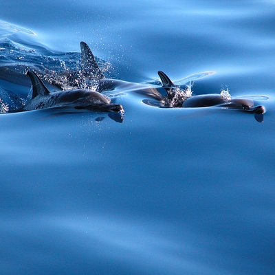 Common dolphins - sea colors