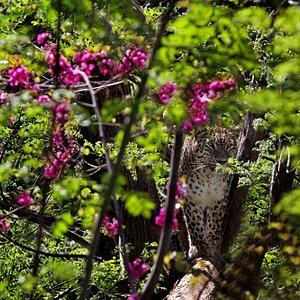 Eduard the leopard at Tbilisi zoo.