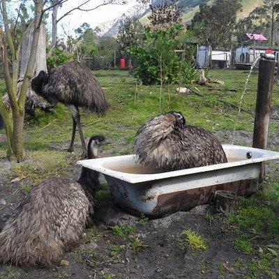 Emus having a cool-down