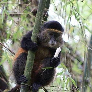 Golden monkey in Mgahinga gorilla national park which offers golden monkey trekking