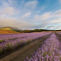 The lavender field in full bloom (January/February)