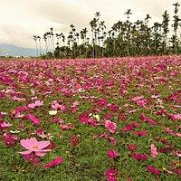 滿佈粉色菊花農田