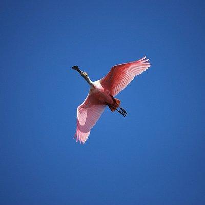 espátula rosada en Solentiname