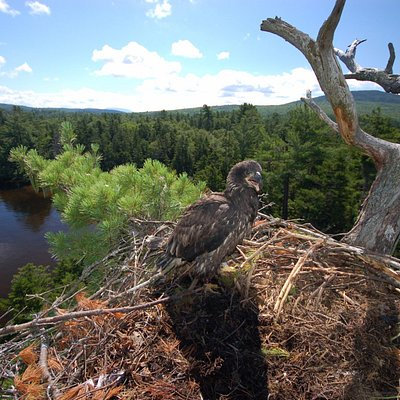 Eaglet on Cupsuptic Lake