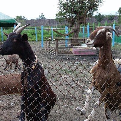 活潑的羊兒
