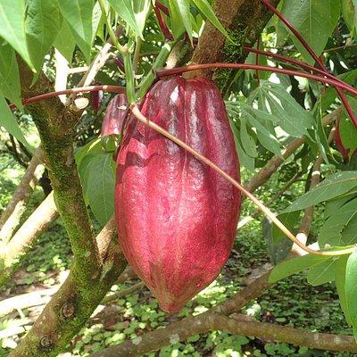 Los Hijos del Bosque - cacao