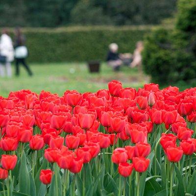 Tulipany w łódzkim ogrodzie botanicznym.