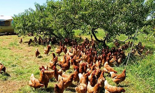 Cage-free hens enjoying the orchard