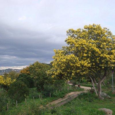 Mimosas avec en fond les montagnes !