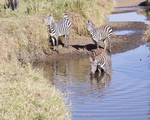 Zebras enjoying a water hole