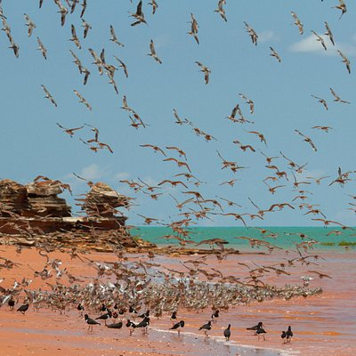 The spectacle of shorebirds gathering on Roebuck Bay beaches at high tide