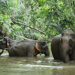 Sanctuary Elephants bathing in the sanctuary rainforest pool.