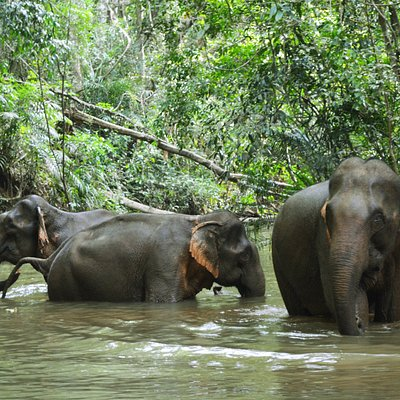 Sanctuary Elephants bathing in the sanctuary rainforest pool.