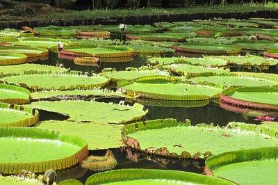 Nord /Jardin de Pamplemousses Garden/ restau Tante Athalie/Plouis / isamauritius@gmail.com