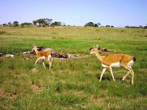 Oribi Antelope by the vulture restaurant