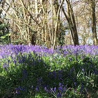 Bluebells along Foxearth Path