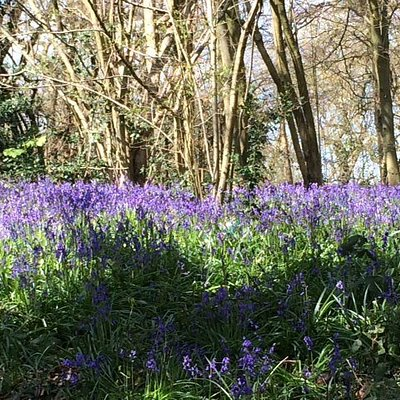 Bluebells along Foxearth Path