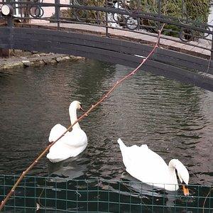 Лебеди в монастырском пруду.