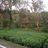 Tea Gardens Narghota