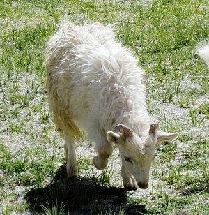 the cheeru animal (mountain goat)