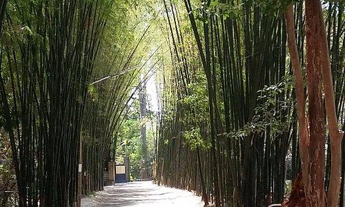 L'allée de Bambous