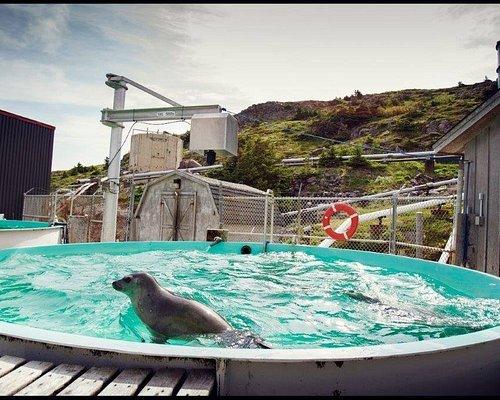 Captive Harp Seal