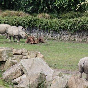 Rinoceronti