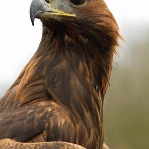 Oscar the Golden Eagle.