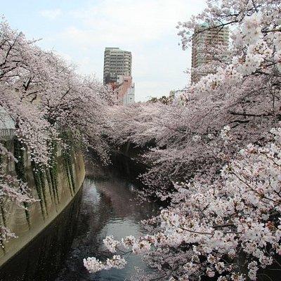 神田川桜並木 面影橋からの眺め