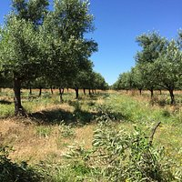 Olive grove during pruning.