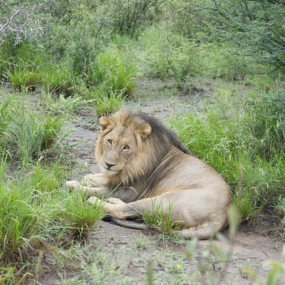 Lion - totally relaxed.