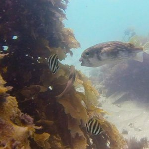One of the few places in the world where groups of Puffer fish gather.