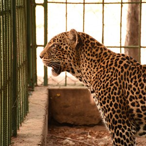 Activities at the zoo: Visit Bahati, the leopardess.