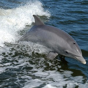 Anna Maria Island Dolphin Tours, Dolphin riding the Salty Dolphin's boat wake on a 2 hour Tour.