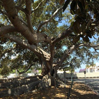 Moreton Bay Fig Tree, Santa Barbara, CA