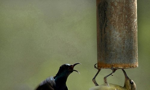 WAT-E-(R) DESIRE: Two thirsty birds try to quench their thirst at a handpump in Lucknow. Photo: