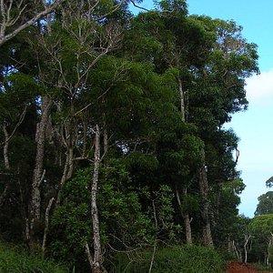 a stand of koa trees