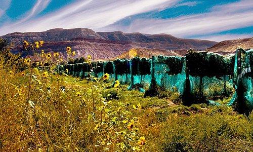 The Vinelands, Creekside's vineyard in Palisade, CO