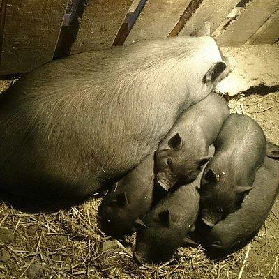 Китайская свинка с приплодом