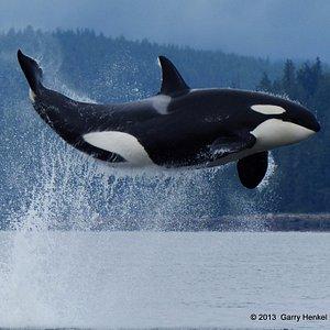 A flying Orca near Marina Island in British Columbia, Canada.