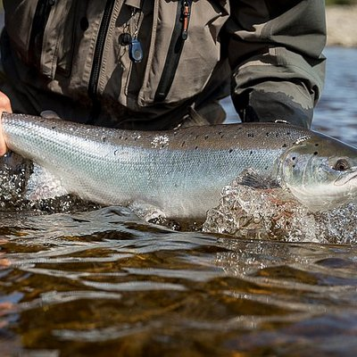 Spring salmon from the River Tummel